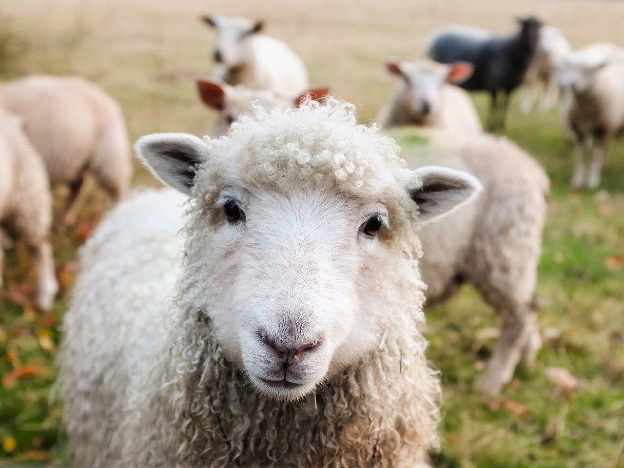 Kradljivac 72-godišnjaku ukrao 49 ovaca i jednog ovna